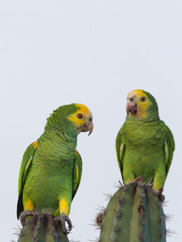 Parrots in Bonaire